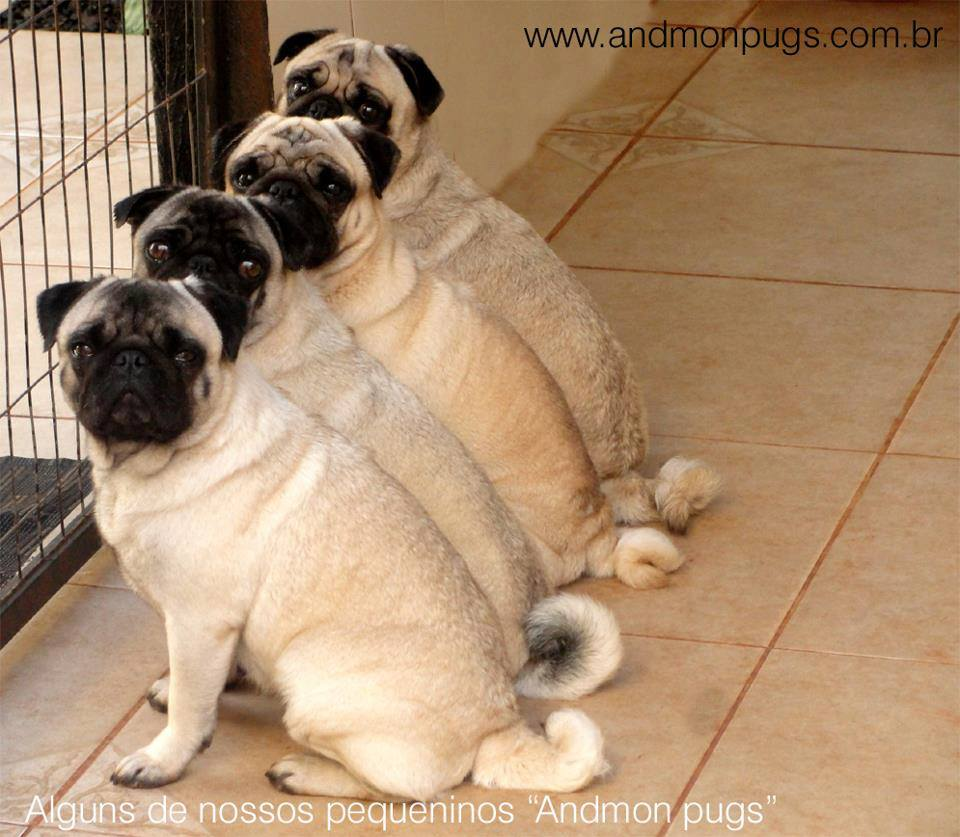 pug furtados do canil andmon pugs