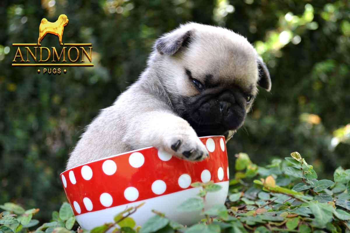 Filhote de Pug a venda  (4)