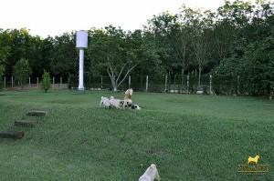 canil de pug (1)